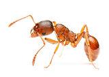 fire-ant.jpg
