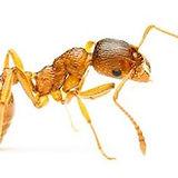pharaoh-ant-md.jpeg