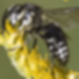 bald-faced-hornet (1).png