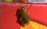 german-cockroach.png