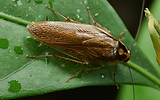 brown-banded-cockroach.png