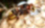 european-hornet.png