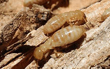 termite-workers.png