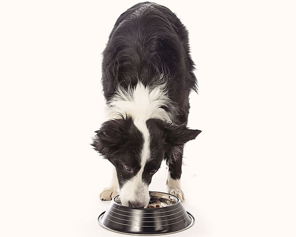 Border Collie eating