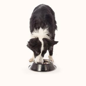 Allergie alimentaire chez le chien et le chat