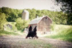 barn_chickens[1].jpg