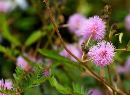 Benefits of Mimosa Pudica