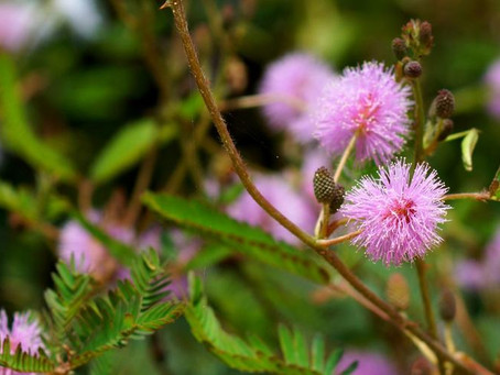 Benefits of Mimosa Pudica