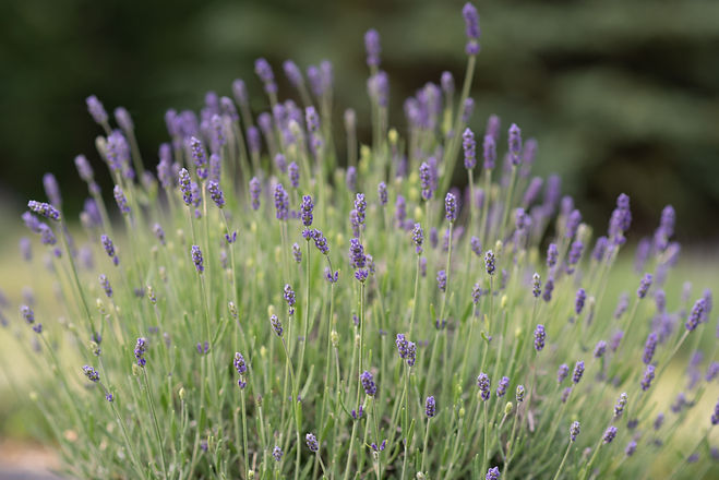 LavenderFarmM.WeddingVenue&details-3.jpg