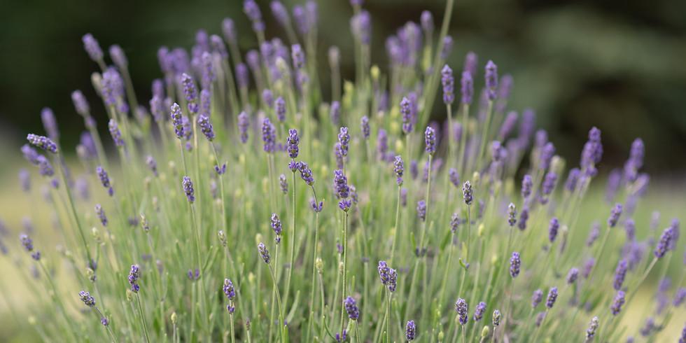 Lavender Yoga- July 3rd