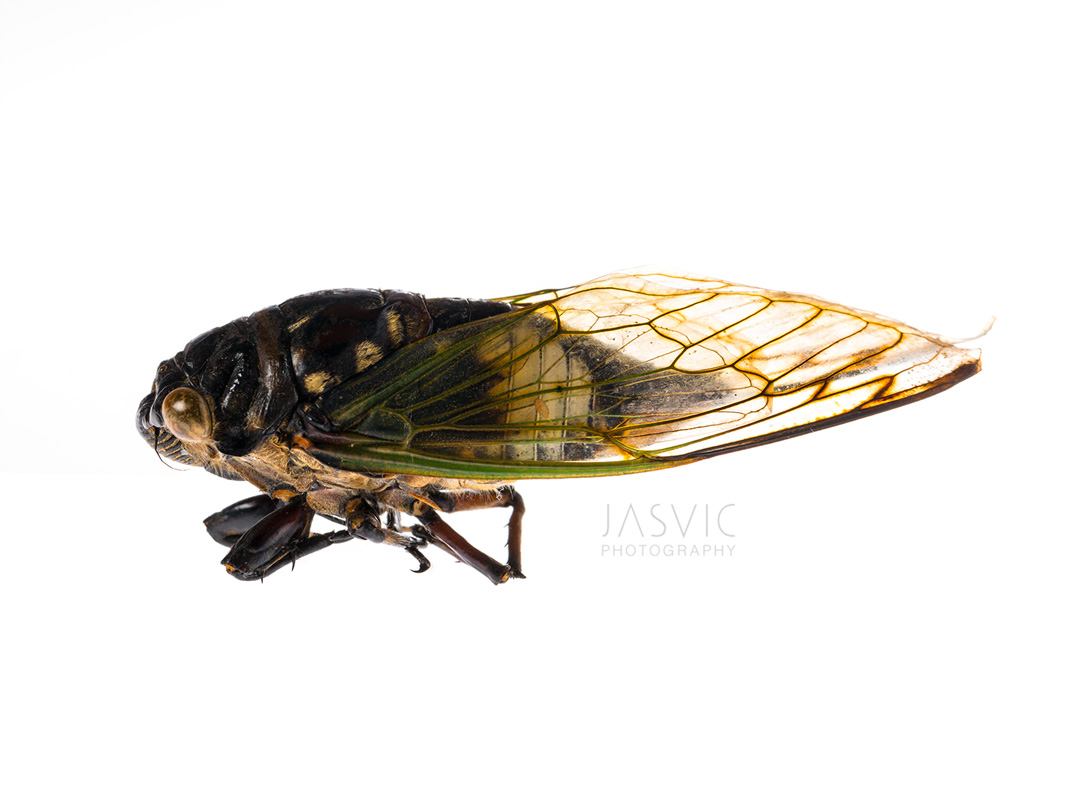 Cicada (unidentified species)