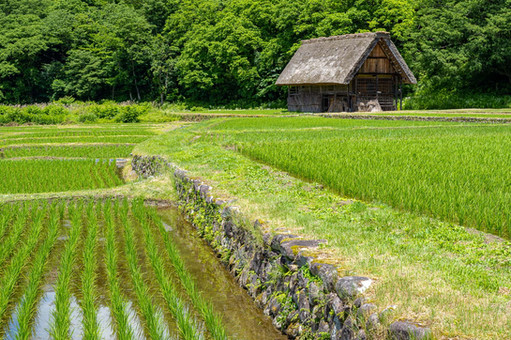 Through the rice field