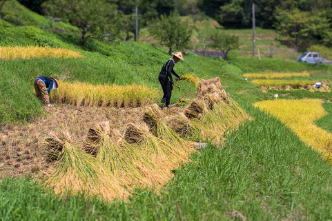 Traditional Rice Harvesting
