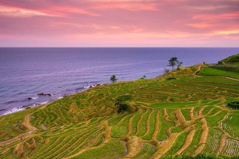 Rice Fields with Sea View