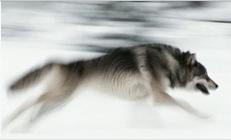 A grey wolf runs through snow in Wyoming. Photograph: Corbis