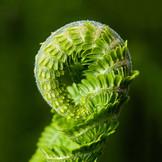 unfolding fern