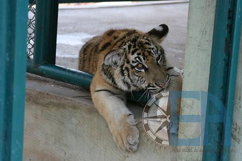 Chiang Dao Tiger Cub