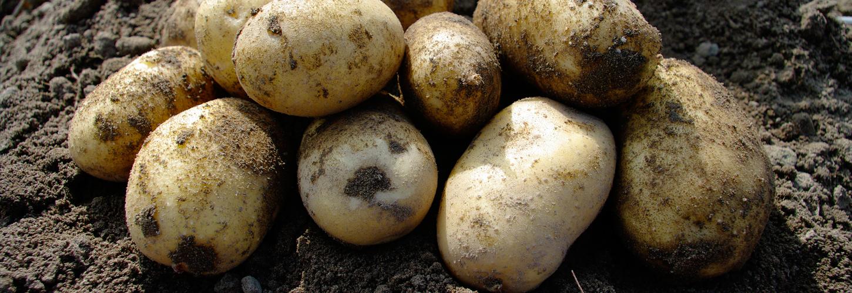 El Mundo potato variety