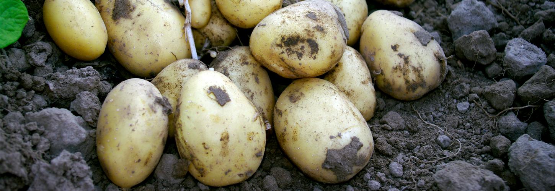 Campina potato variety