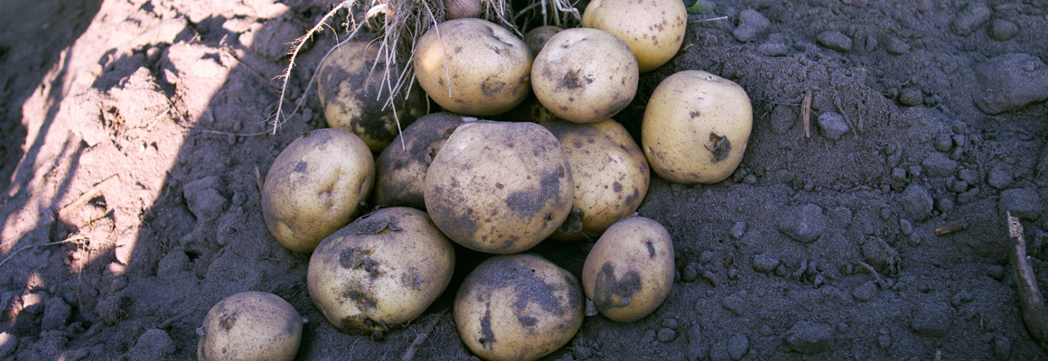 Vineta potato variety