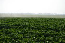 Bulvių laistymo sezonas