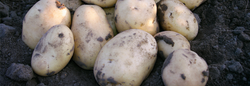 Adora potato variety