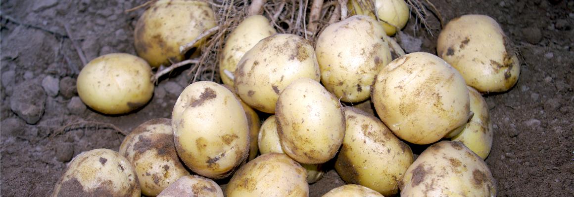 Lady Claire potato variety