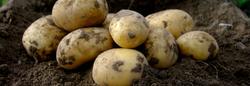 COLOMBA potato vriety