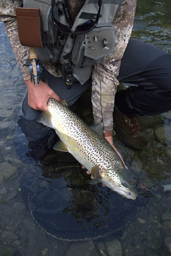 New Zealand Brown Trout