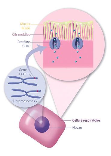 Schéma mucviscidose gène protéine CFTR