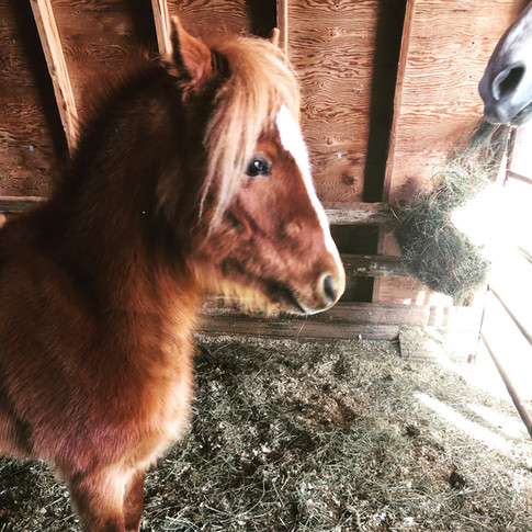 Storm our Welsh Pony