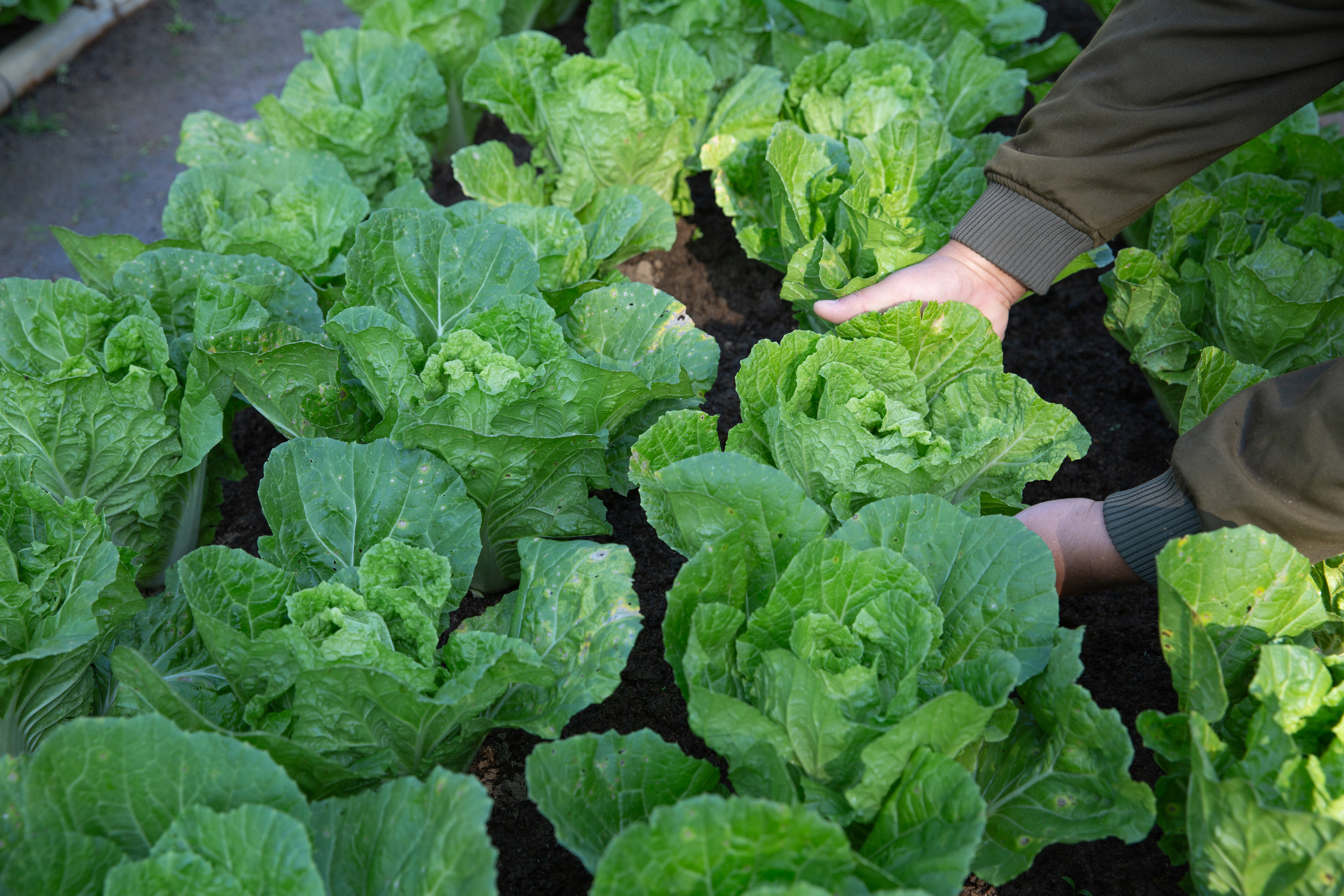 farmer-irrigation-fields-of-cabbage-in-v