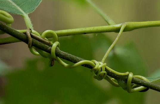 thumb_grapevine-tendrils.jpg