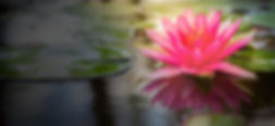 Lotus in pond.jpg