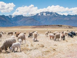 Loving Sheep & Goats
