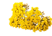 Helicriso flor.png
