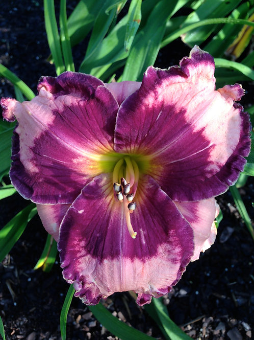 Ledgewood's Pansy Eye (2)