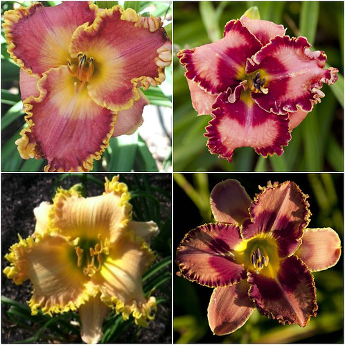 Spacecoast (4 Fans- 1 of each lily)