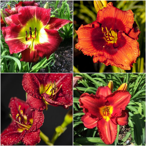 Red (4 fans - 1 of each lily)