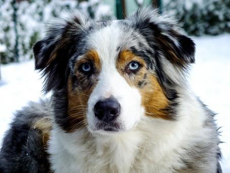 Chien de race: Berger australien (Australian Shepherd)