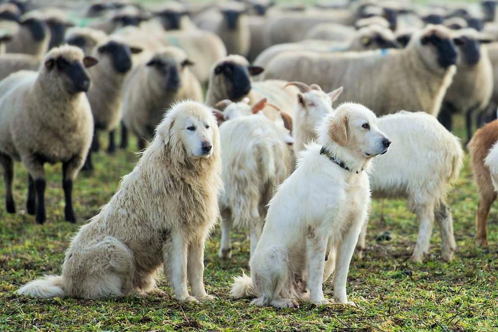 Chien de berger gardant un troupeau
