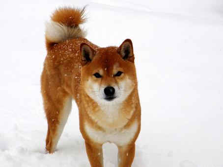 Chien Japonais: Shiba (Shiba Inu)