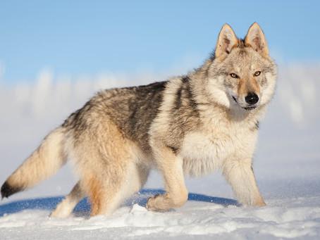 Chien de race: Chien loup