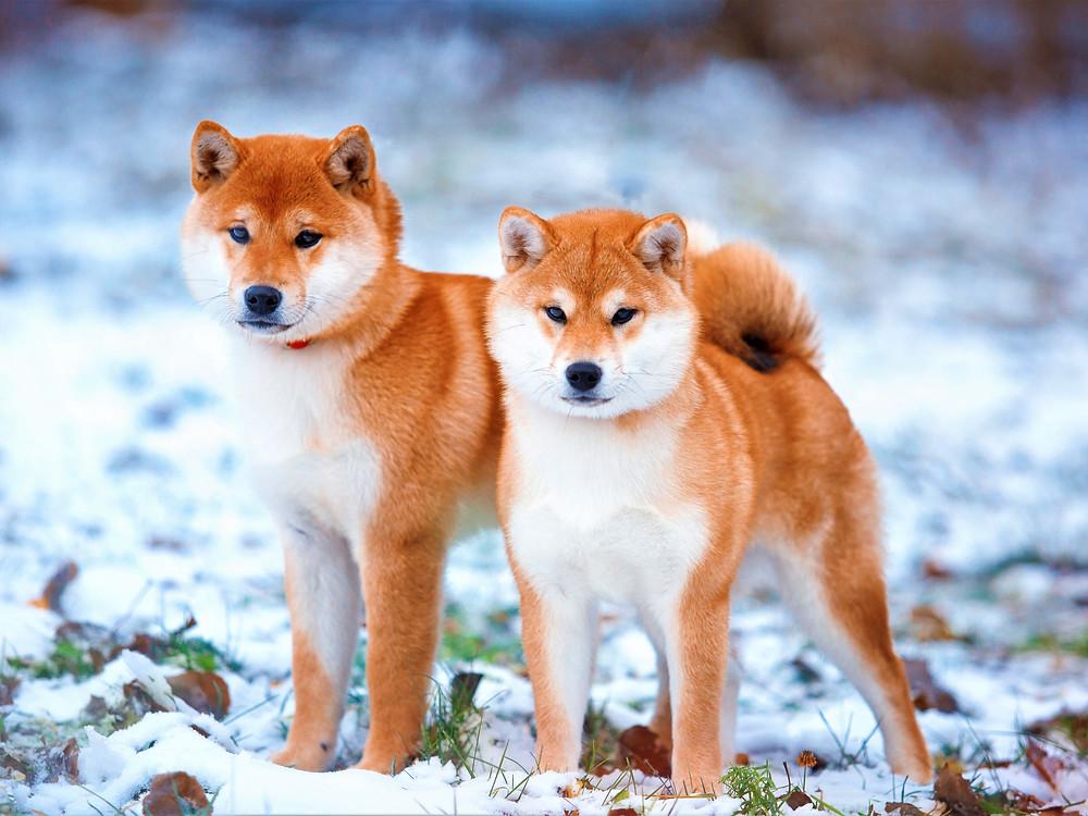 Chien Japonais Shiba Inu ( 柴犬 )
