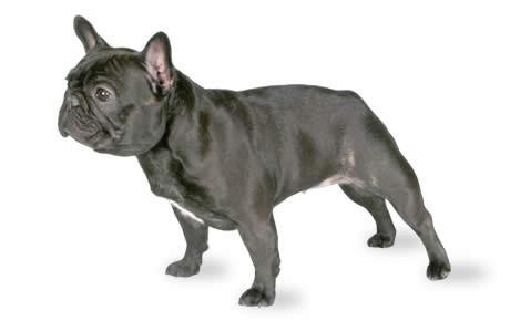 Le bouledogue est un excellent chien à adopter pour une famille
