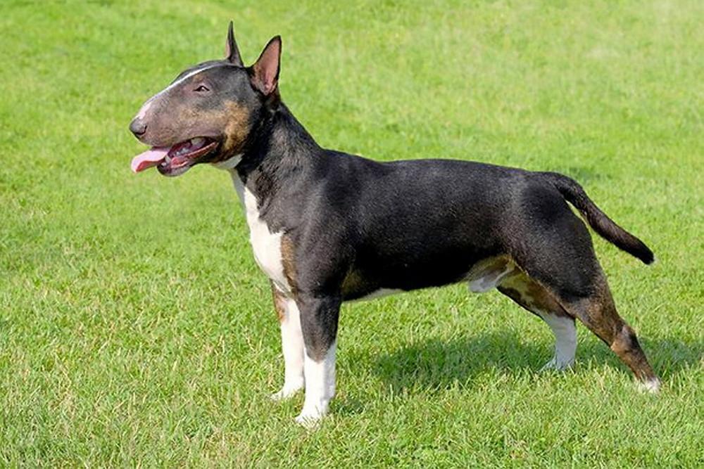 Le Bull Terrier est adapté pour les familles nombreuses