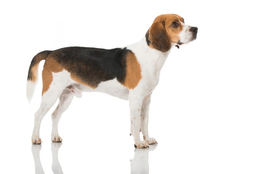 Beagle, très bon chien pour les familles avec enfant