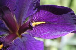 Water Iris