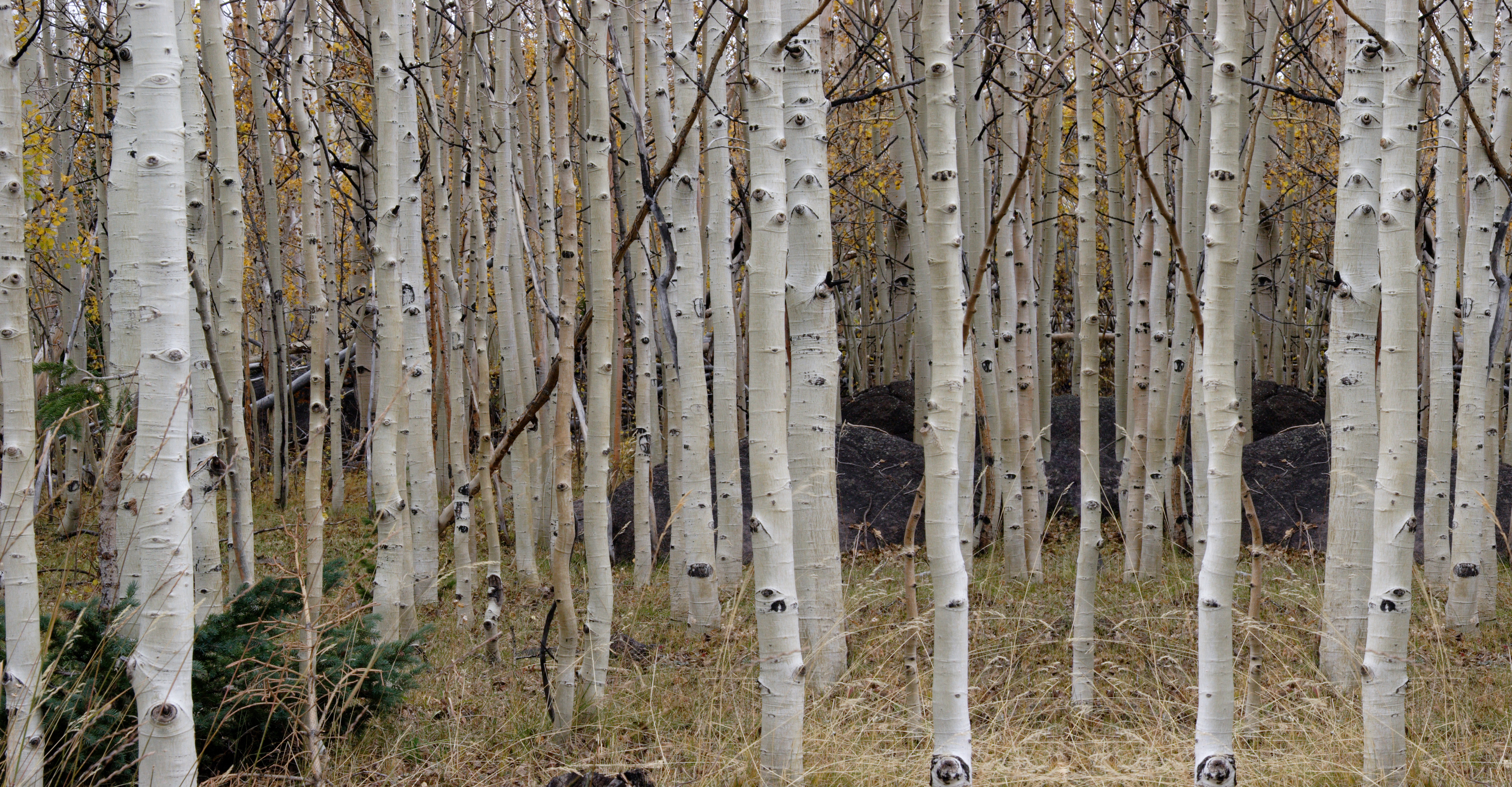 Birch Trees on Film