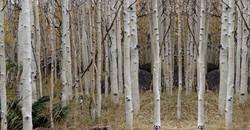 Birch Trees on Film